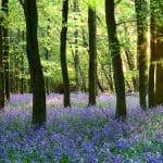 Ashridge Estate Bluebells